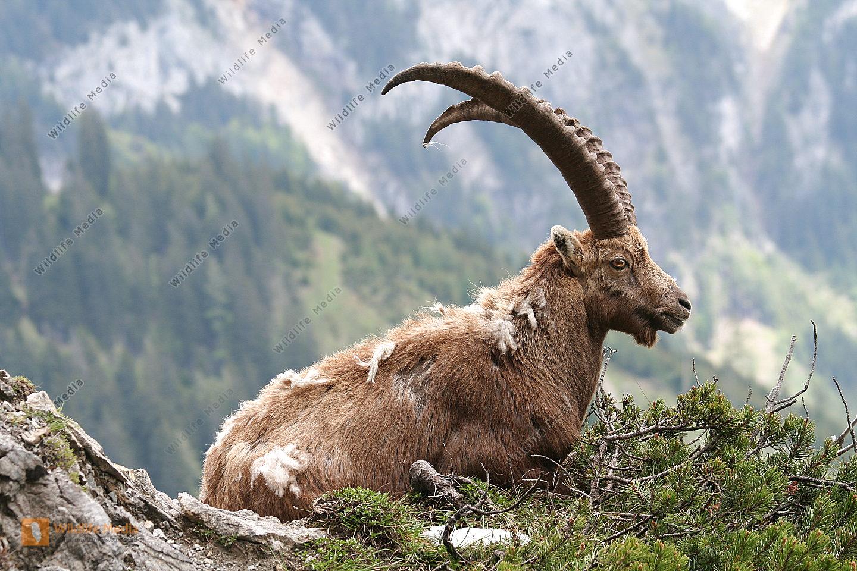 bestellen steinbock capra ibex in freier wildbahn bildagentur. Black Bedroom Furniture Sets. Home Design Ideas