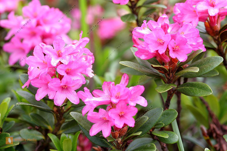 bestellen alpenrose rhododendron bild bildagentur. Black Bedroom Furniture Sets. Home Design Ideas