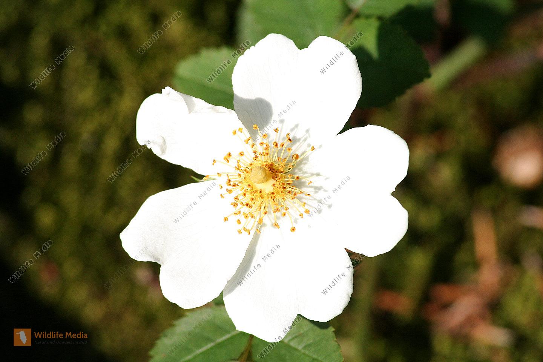 Heckenrose weiß
