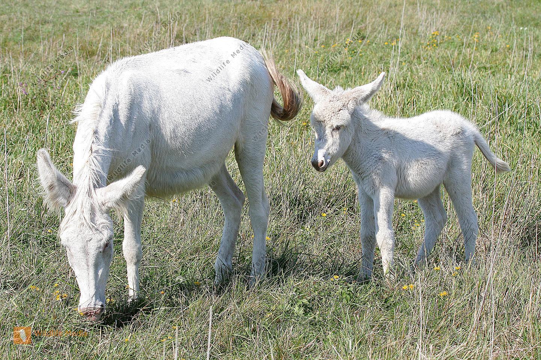 Große weiße Esel Bilder