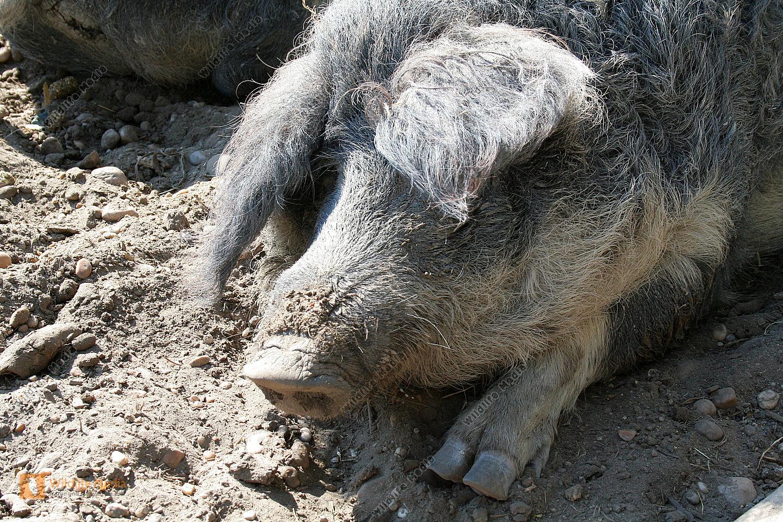 Mangaliza Schweine