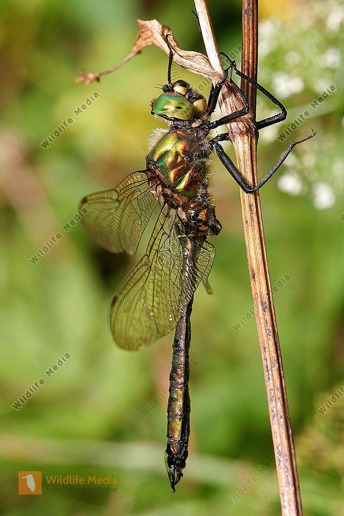 Alpen Smaragdlibelle