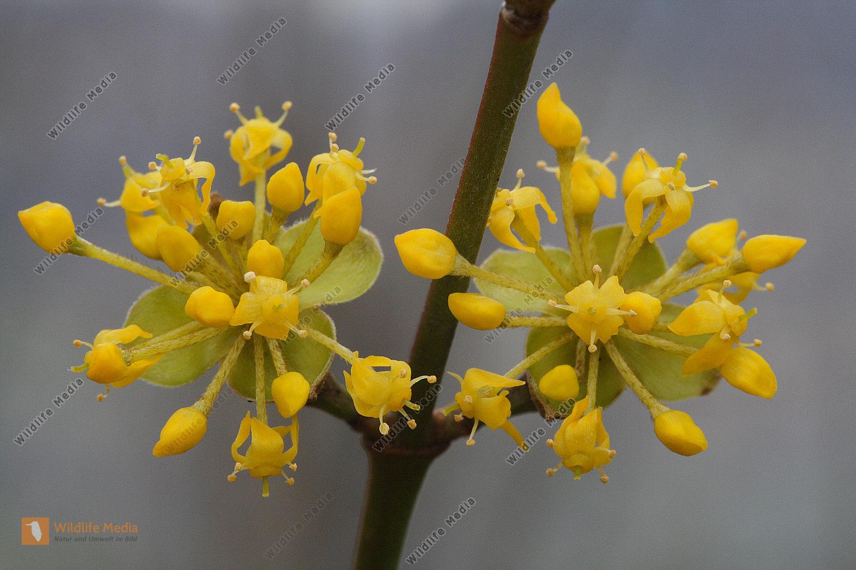 Kornelkirsche Blüte