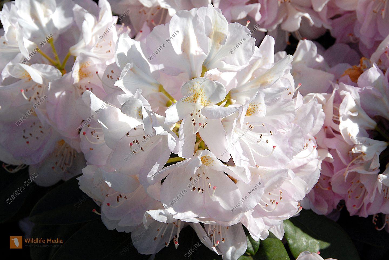 bestellen rhododendron rhododendron bild bildagentur. Black Bedroom Furniture Sets. Home Design Ideas
