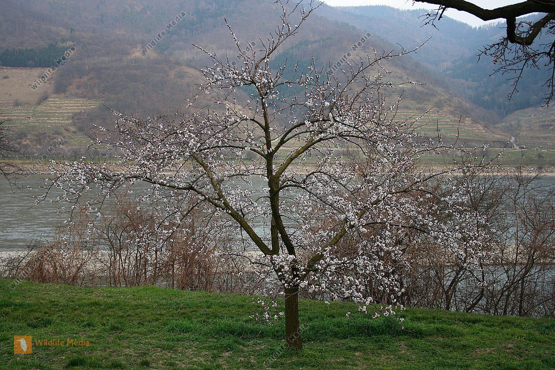Marillenbaum zur Blütezeit