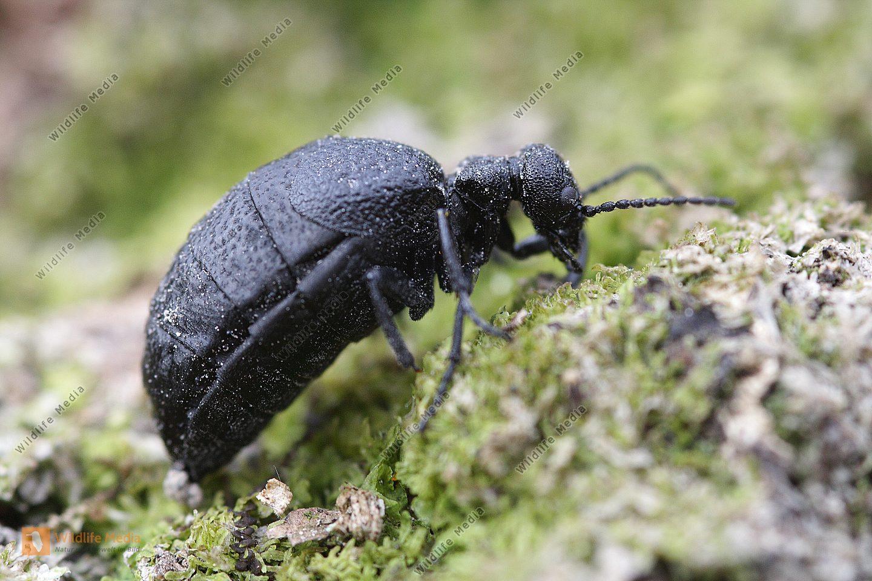 Schwarzer Maiwurm