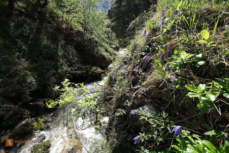 Alpen-Waldrebe