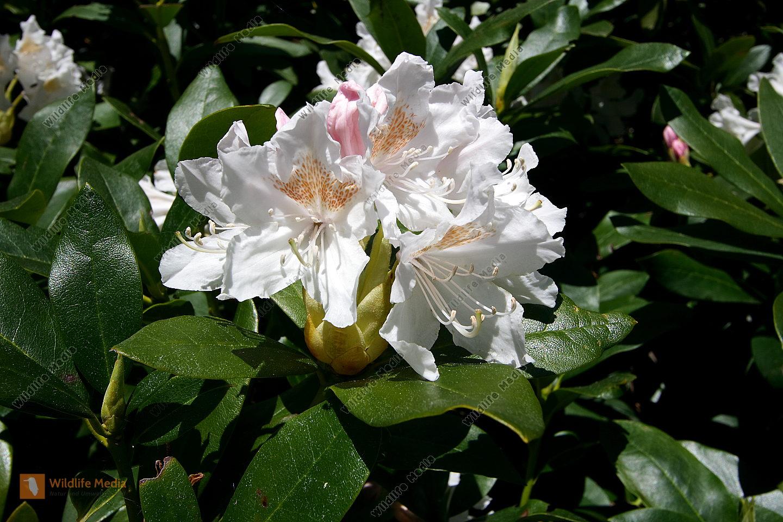 bestellen himalaya rhododendron himalaya rhododendron. Black Bedroom Furniture Sets. Home Design Ideas