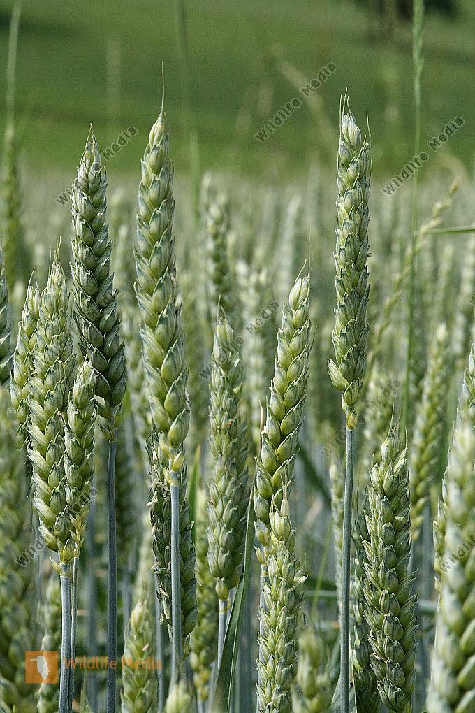 Saat-Weizen