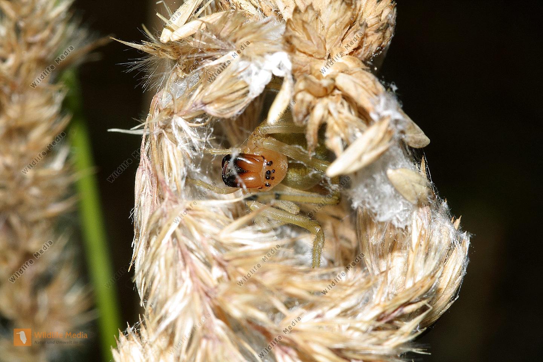 Dornfinger Spinne