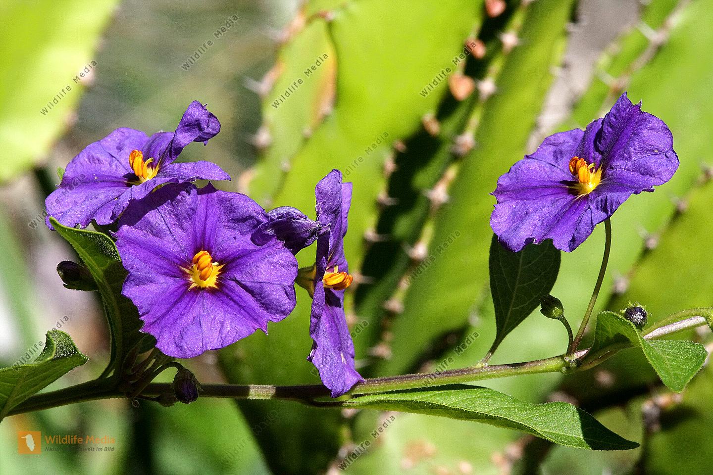 Blau-Violetter Enzianbaum