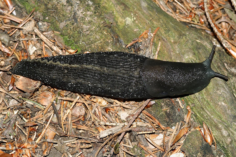 Schwarze Nacktschnecke
