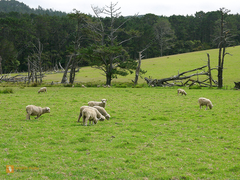 Neuseeländische Schafherde