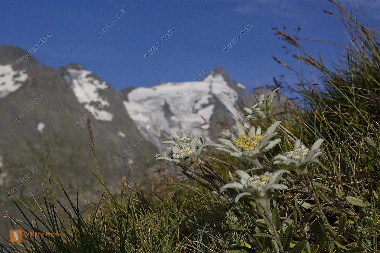 Alpen-Edelweiß