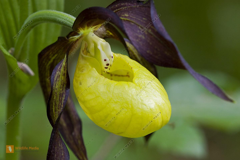Gelber Frauenschuh