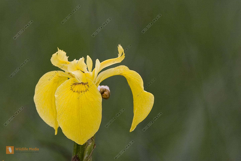 bestellen gelbe schwertlilie iris pseudacorus bild bildagentur. Black Bedroom Furniture Sets. Home Design Ideas