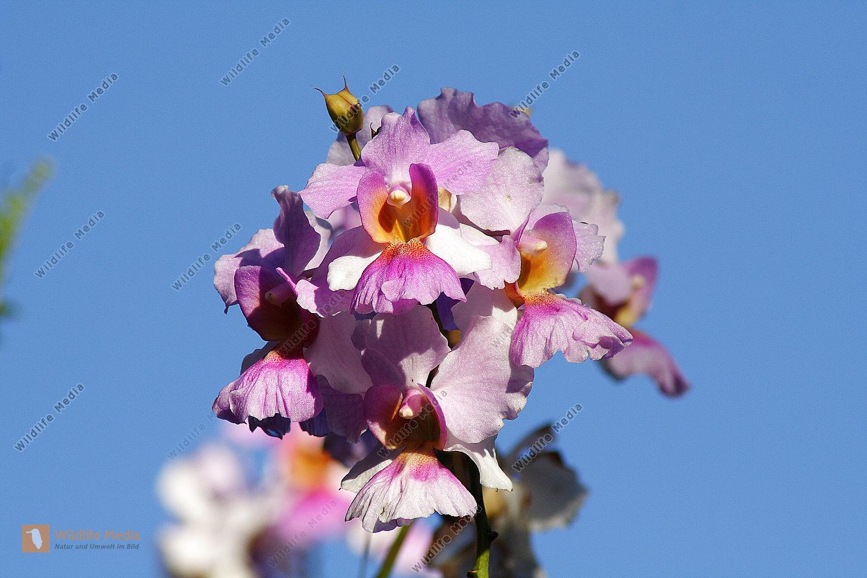 Tropische Regenwaldorchidee