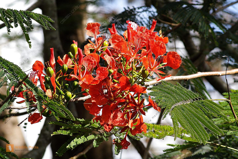Flamboyan Baum