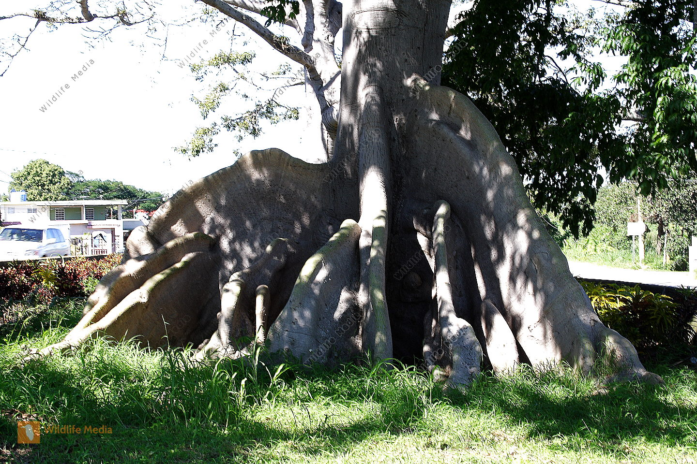 Ceiba Baum