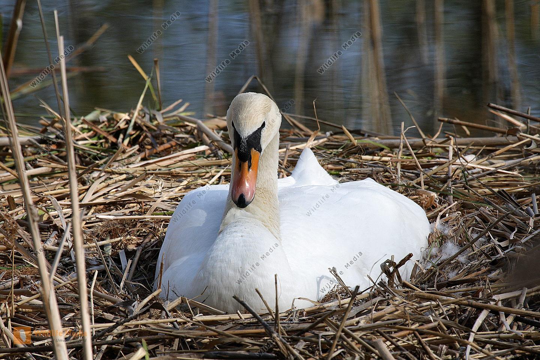 Höckerschwan am Nest