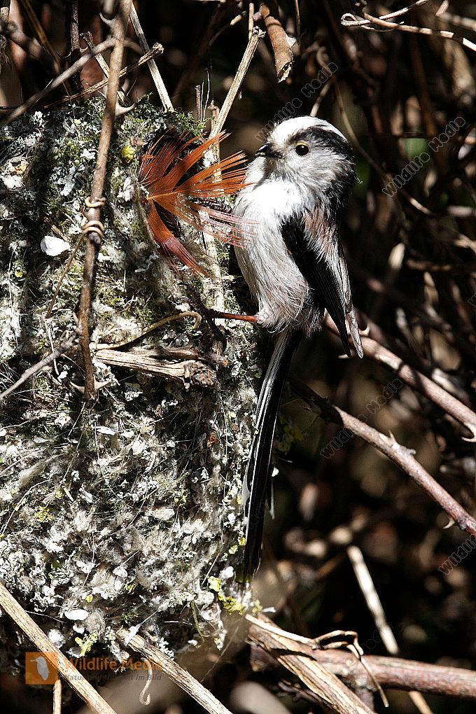 Schwanzmeise am Nest
