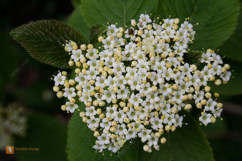 Wolliger Schneeball Blüte