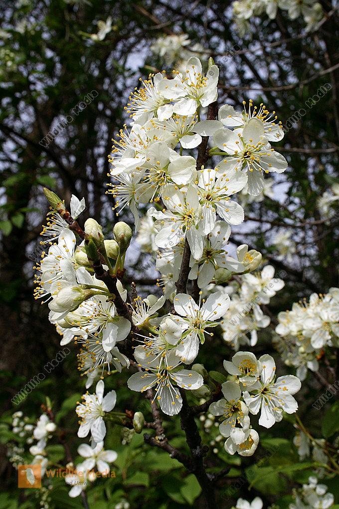 Zwetschkenblüte