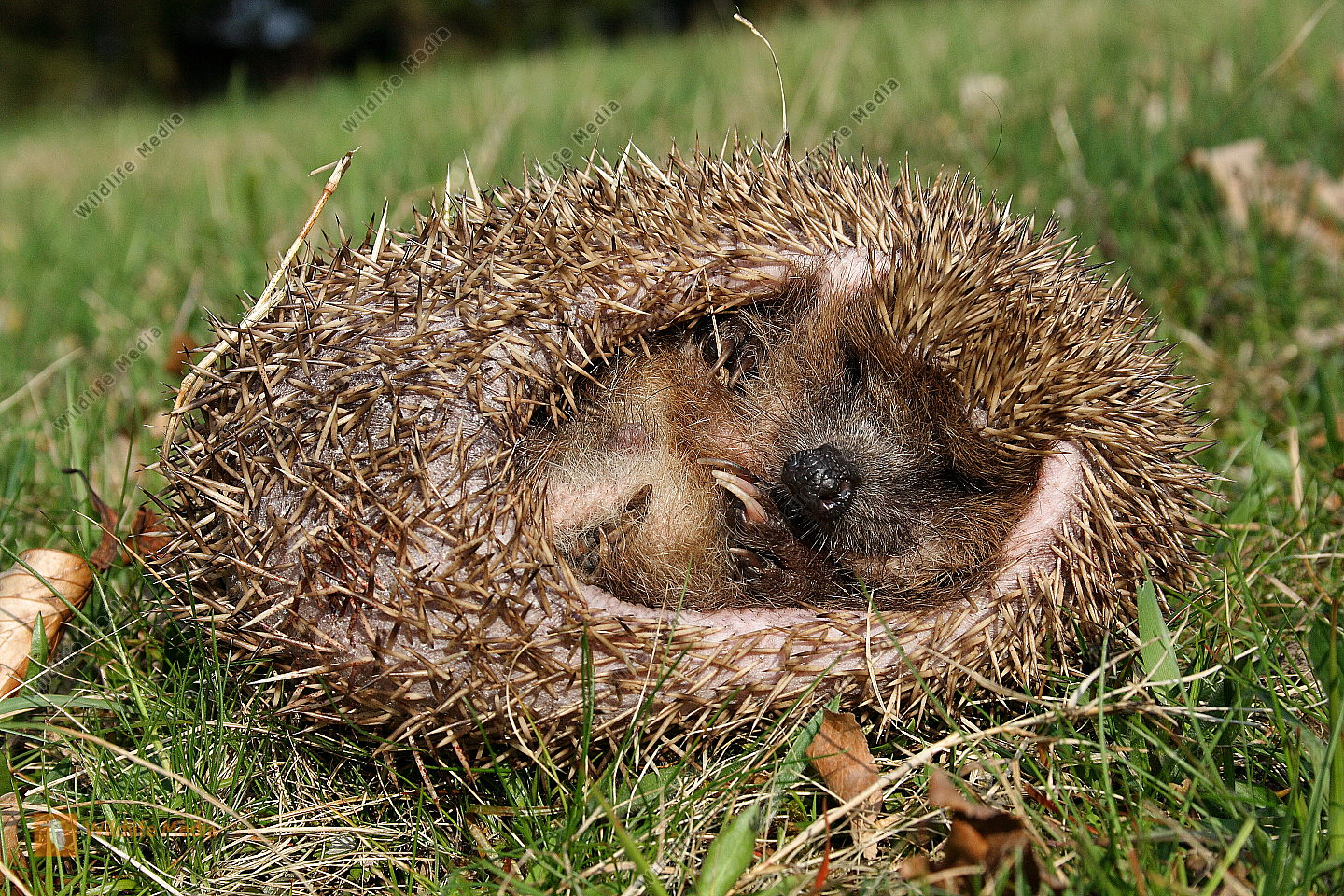 Pin Igel On Pinterest