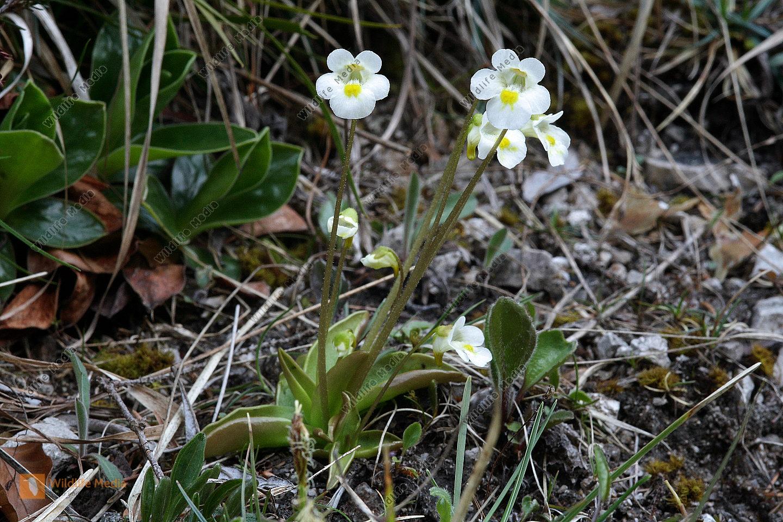 Alpen-Fettblatt