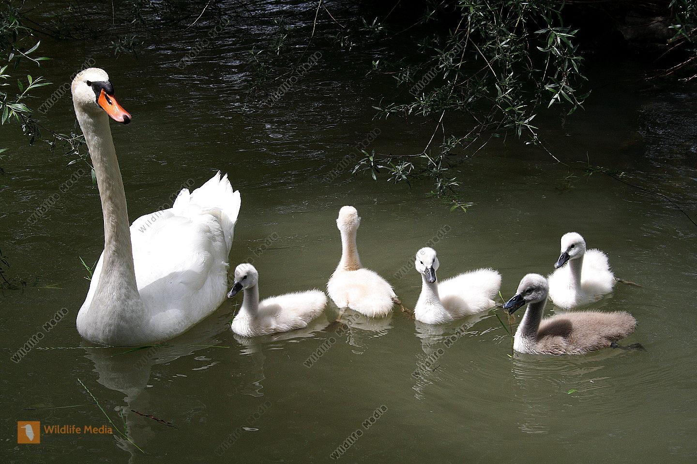Höckerschwanfamilie