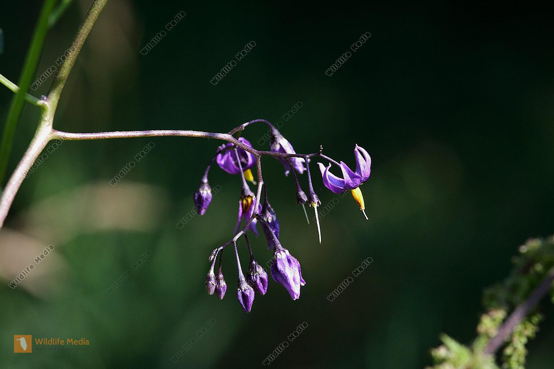 Bittersüßer Nachtschatten Blüte