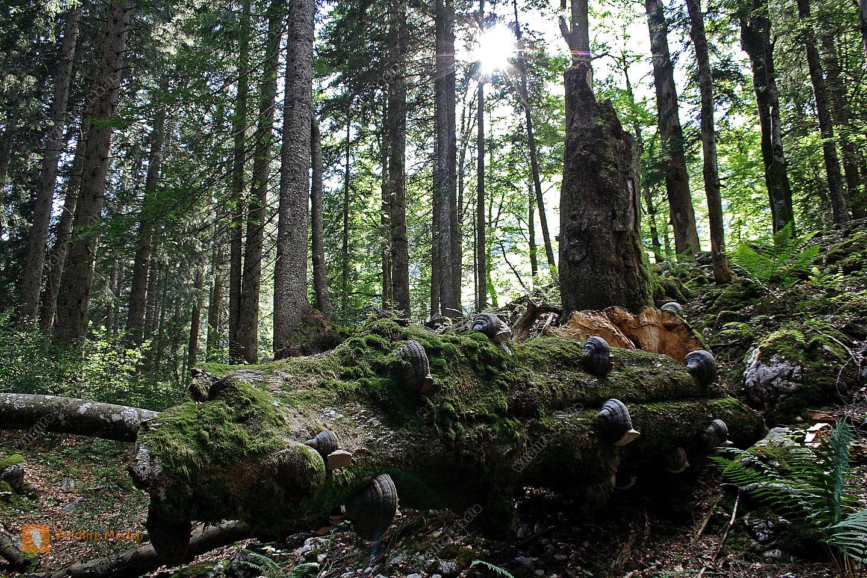 bestellen  europäischer urwald europäischer urwald bild
