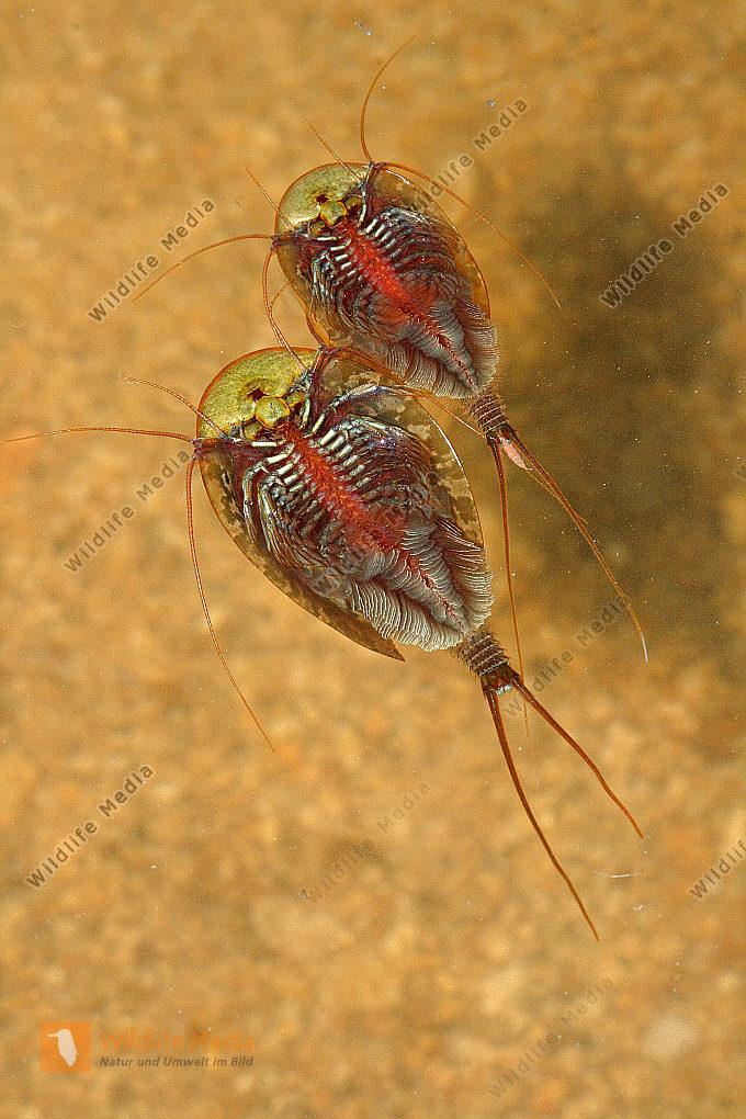 Triops cancriformis