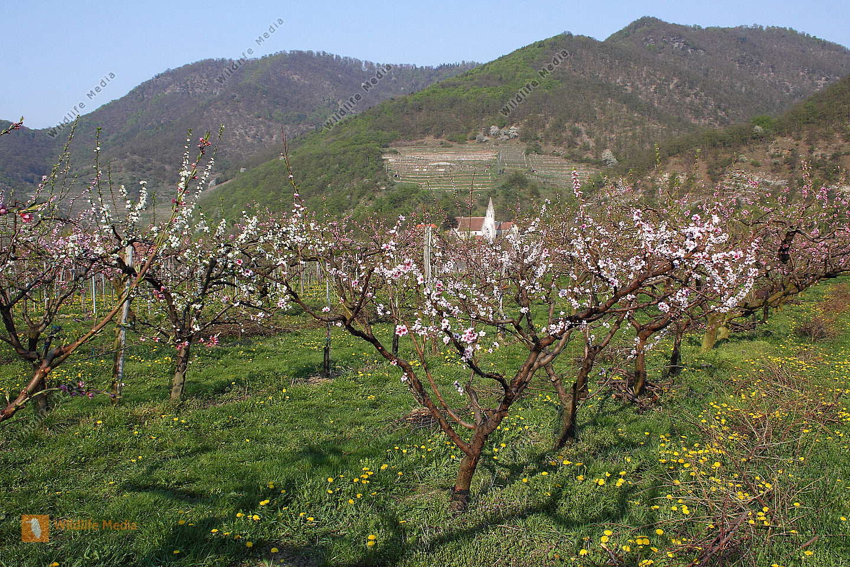 Wachauer Pfirsichblüte