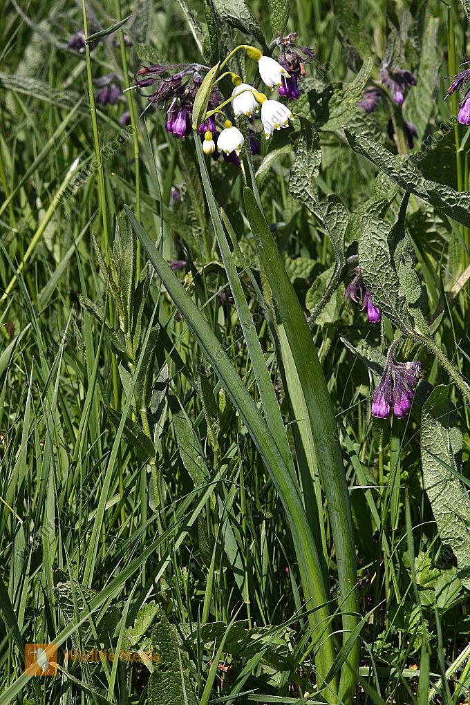 Sommer-Knotenblume