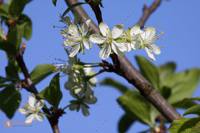 Zwetschken-Blüte
