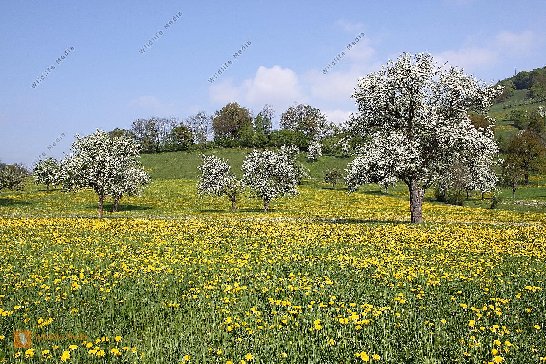 Pielachtaler Obstbaumblüte