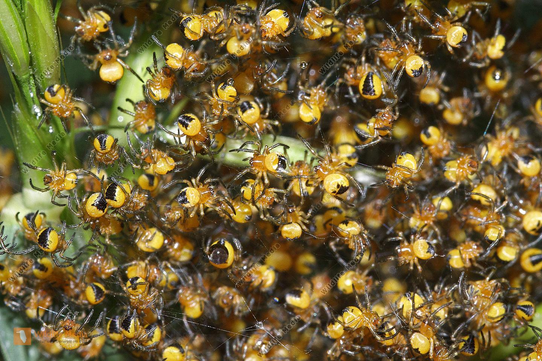 Wespenspinnen Jungtier
