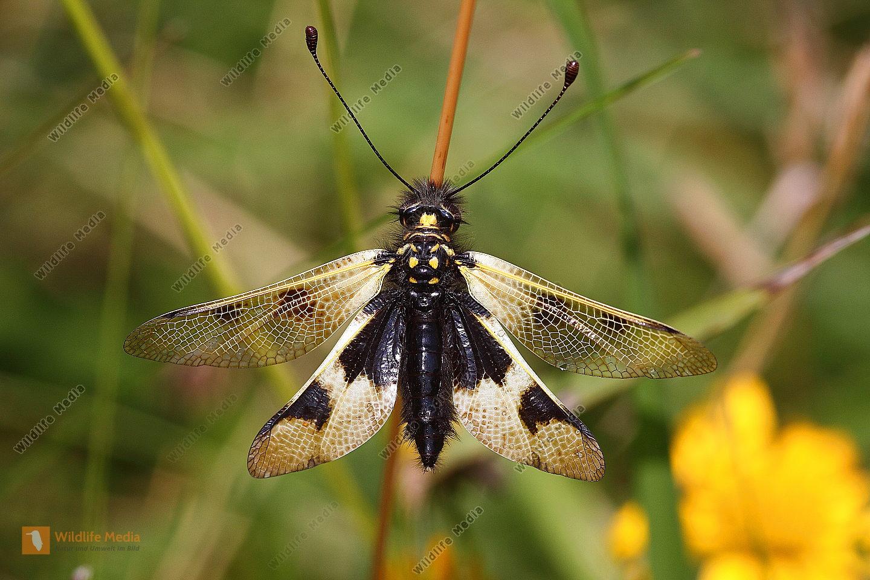 Langfühleriger Schmetterlingshaft