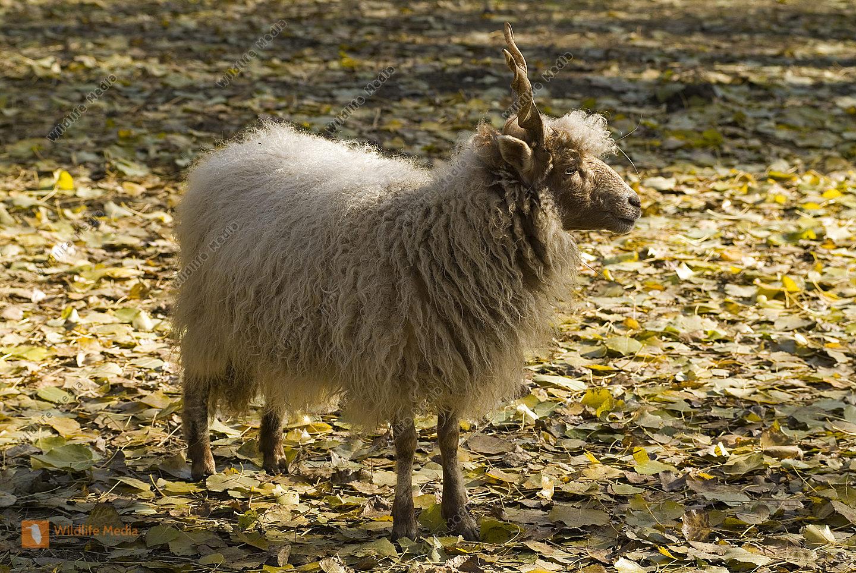 Zoologie, Schaf
