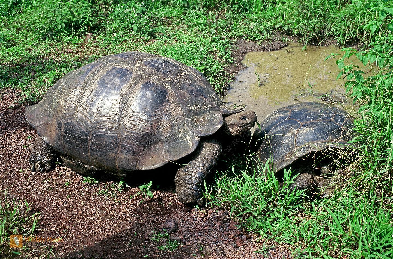 Galapagos-Schildkröte
