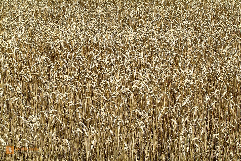 Landwirtschaft, Getreide