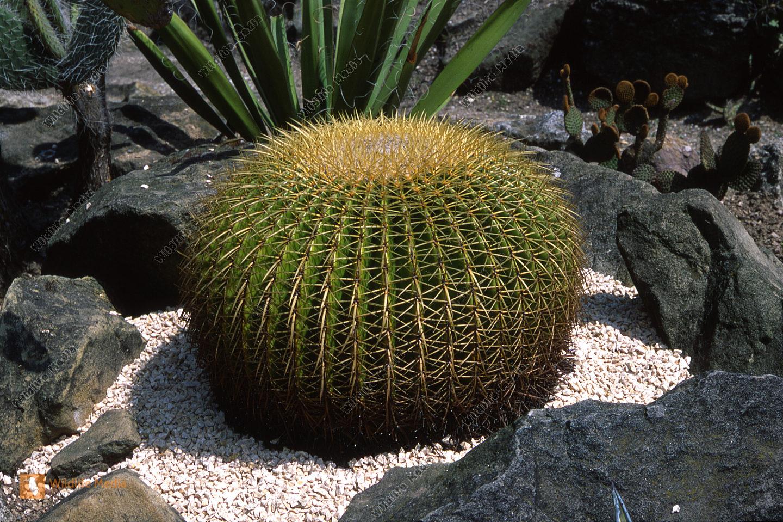 Botanik - Kaktus
