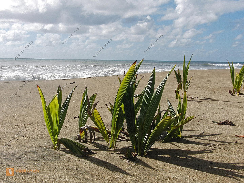 Kokusnußpalmen am Strand