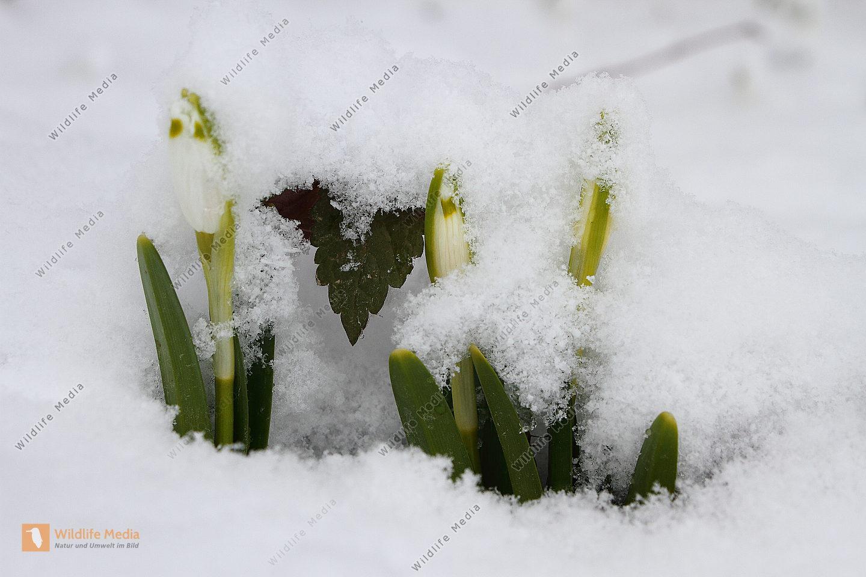 Frühlingsknotenblume im Schnee