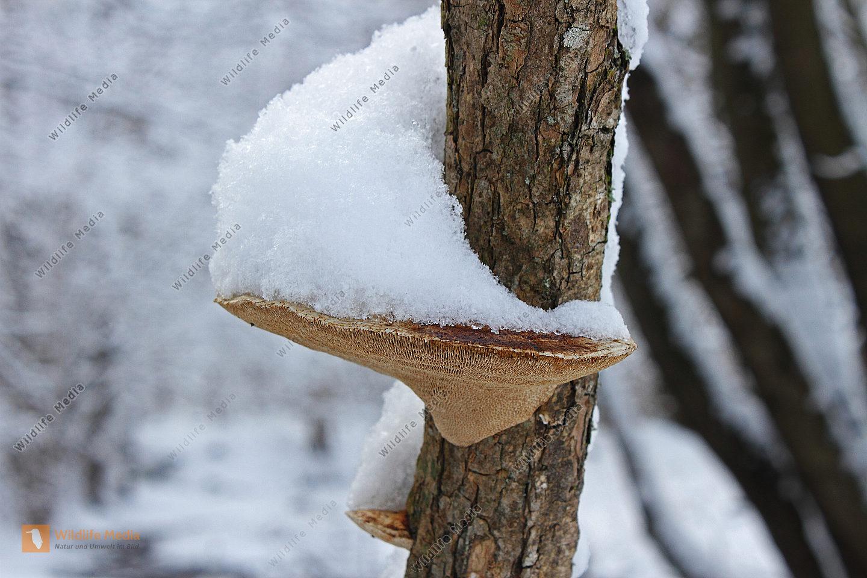 Baumschwamm im Winter