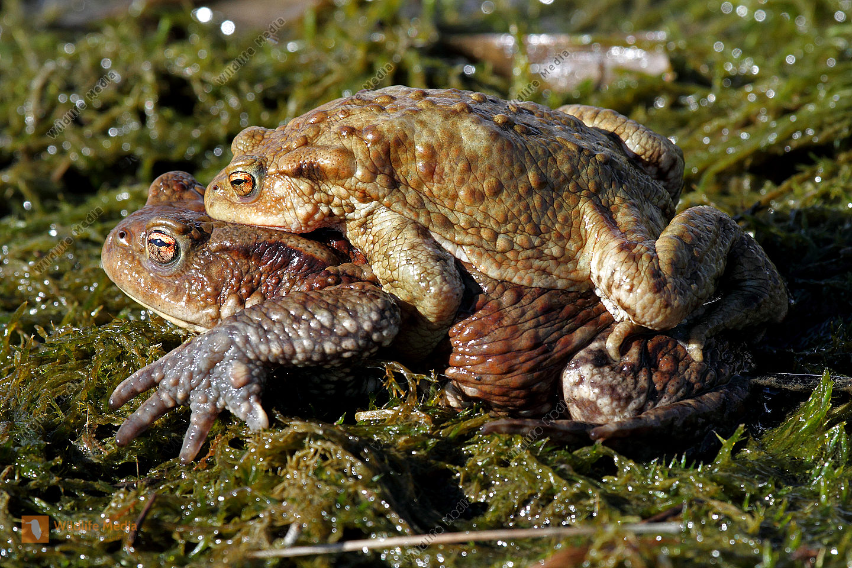 Erdkrötenpaarung