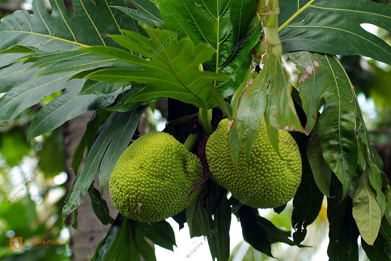 Fidschi - Botanik