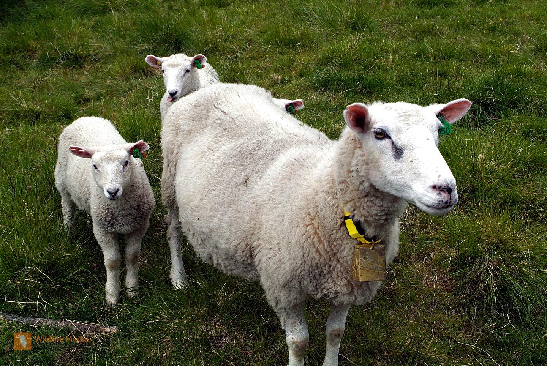 Zoologie, Schafe