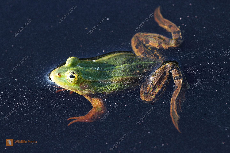Großer Wasserfrosch